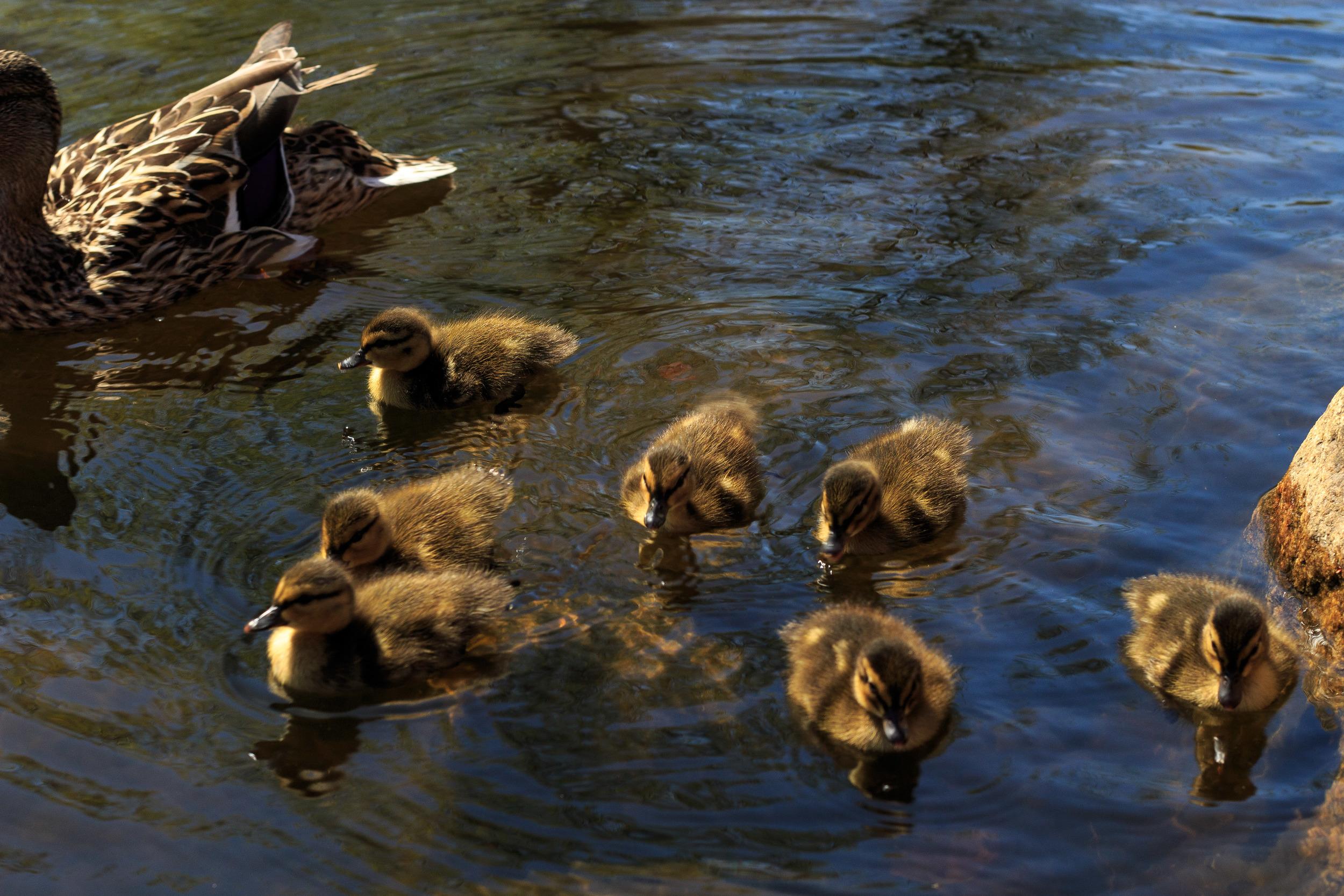 Ducks-0543.jpg