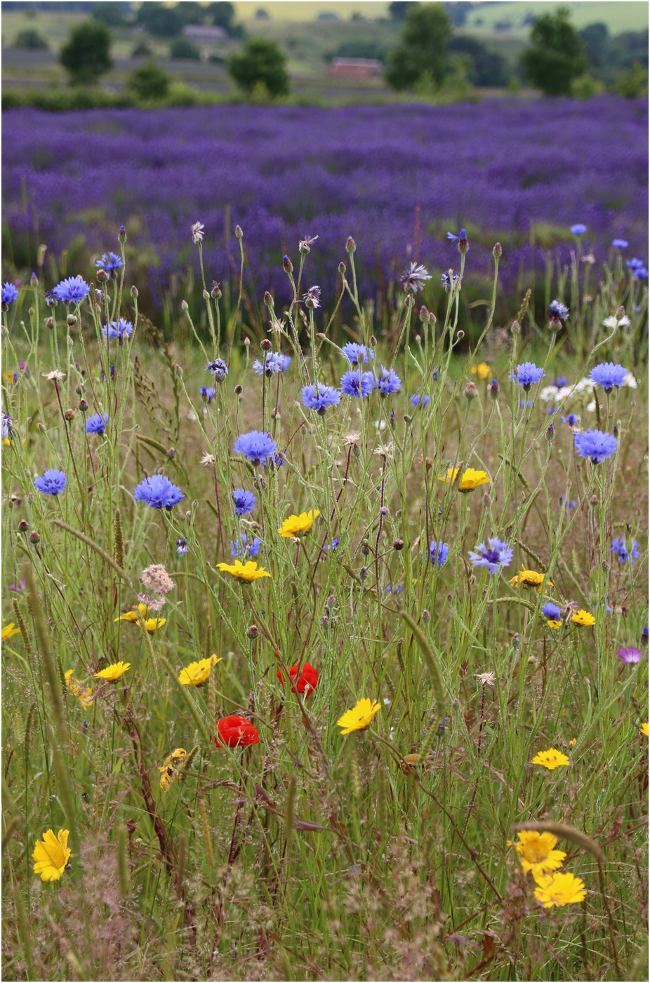 Wild flowers and Lavender SMALL IMG_3882.jpg