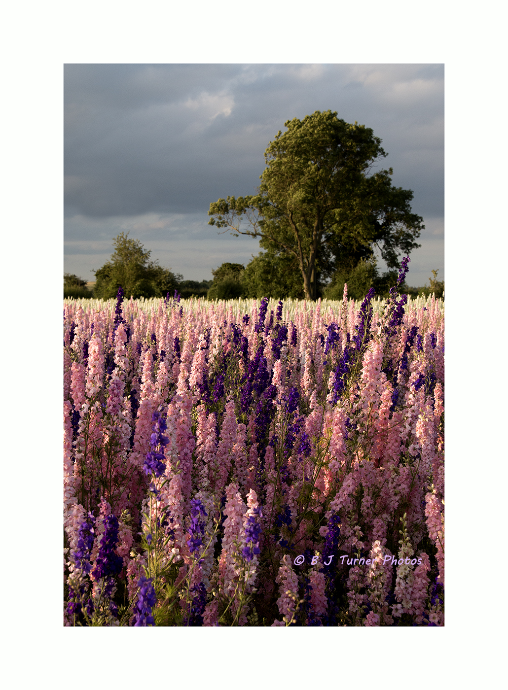 Delphinium field with tree and border copyright_MG_2836.jpg