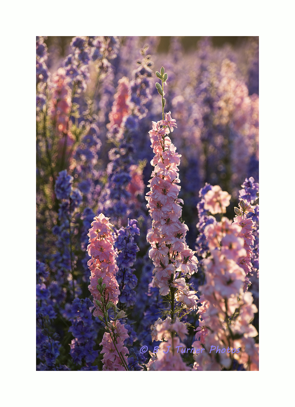 Delphiniums with border & copyright_MG_2870.jpg