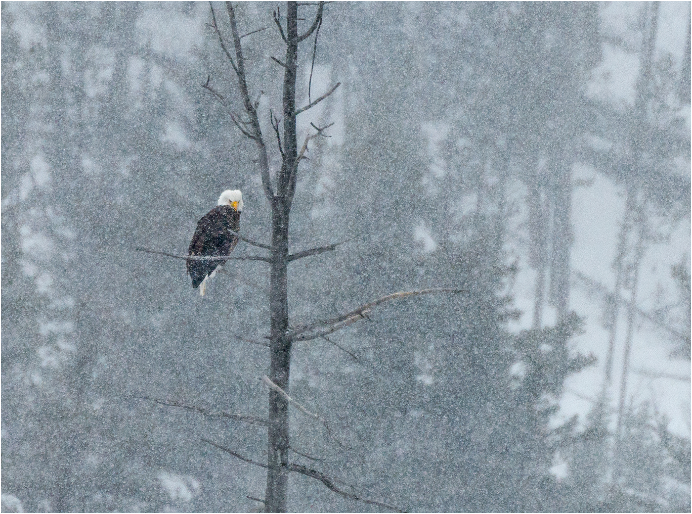 1_American Bald Eagle in a Blizzard_Ric Harding.jpg