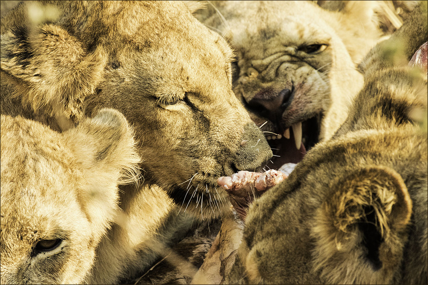 1_Lions on a kill_Ian Johnston.jpg