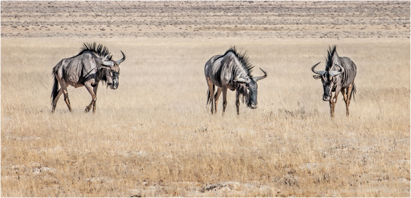 1_Three Wildebeest_Audrey Couchman.jpg