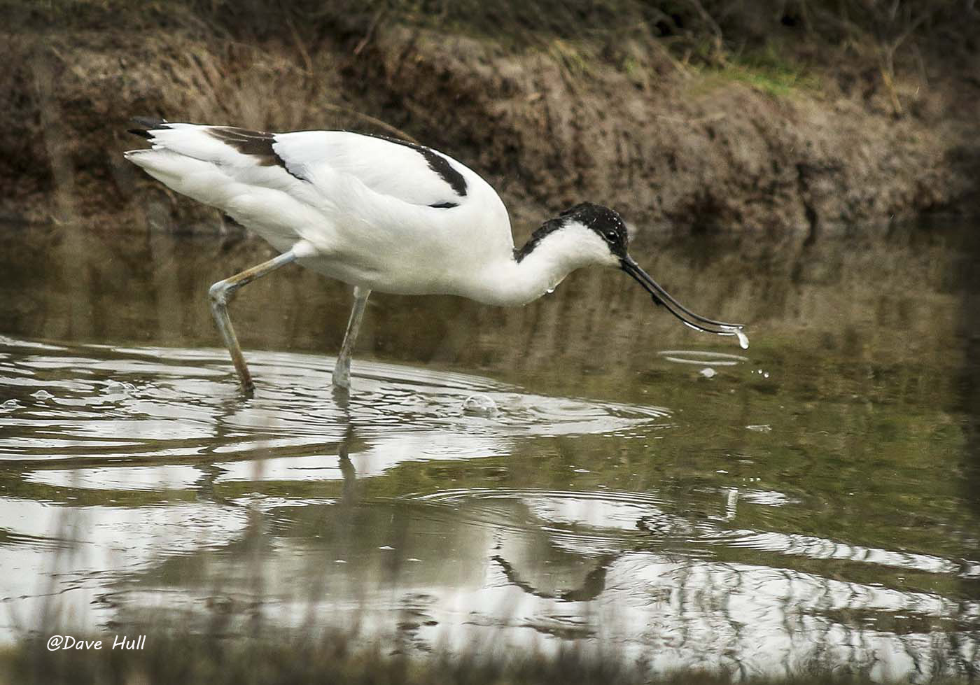 Avocet, Upton Warren @Dave Hull