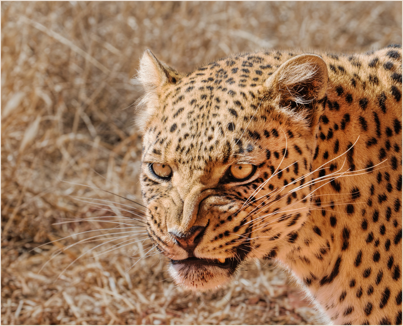 1_Leopard with Attitude_Audrey Couchman.jpg