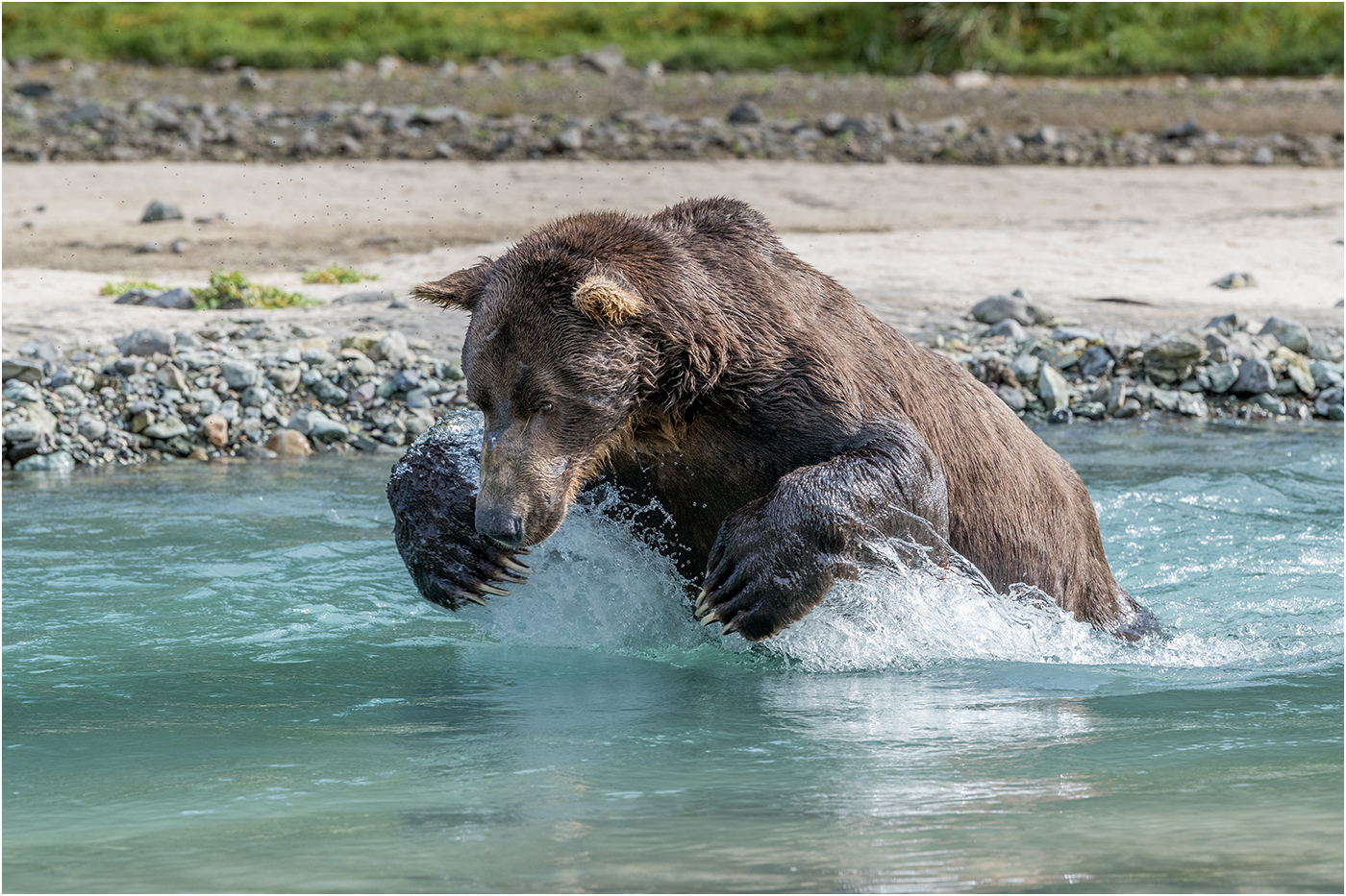 Ric Harding.   Lunging Alaskan Brown Bear