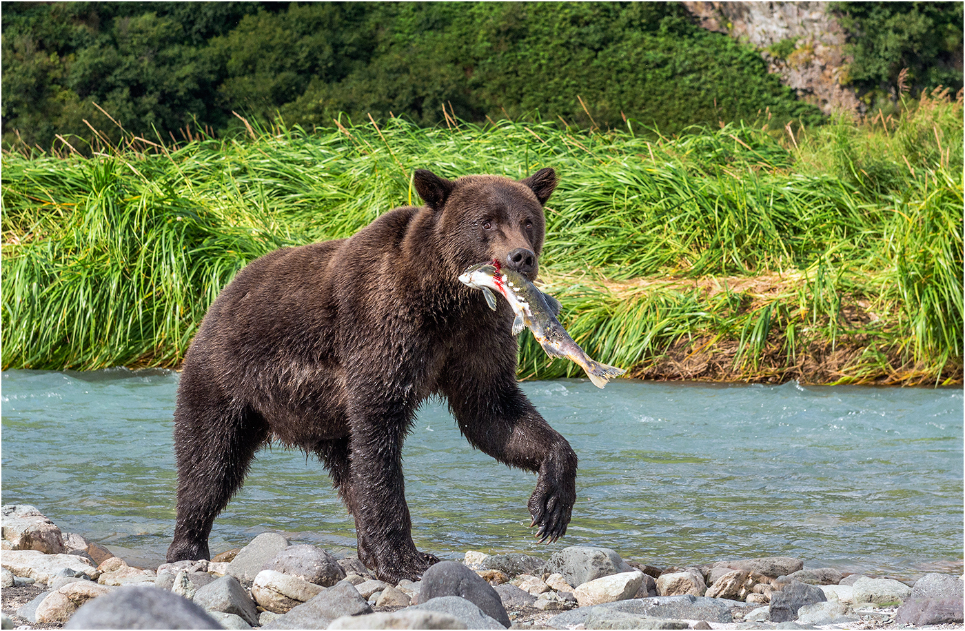 Katmai Grizzly with Freshly Caught Salmon.jpg