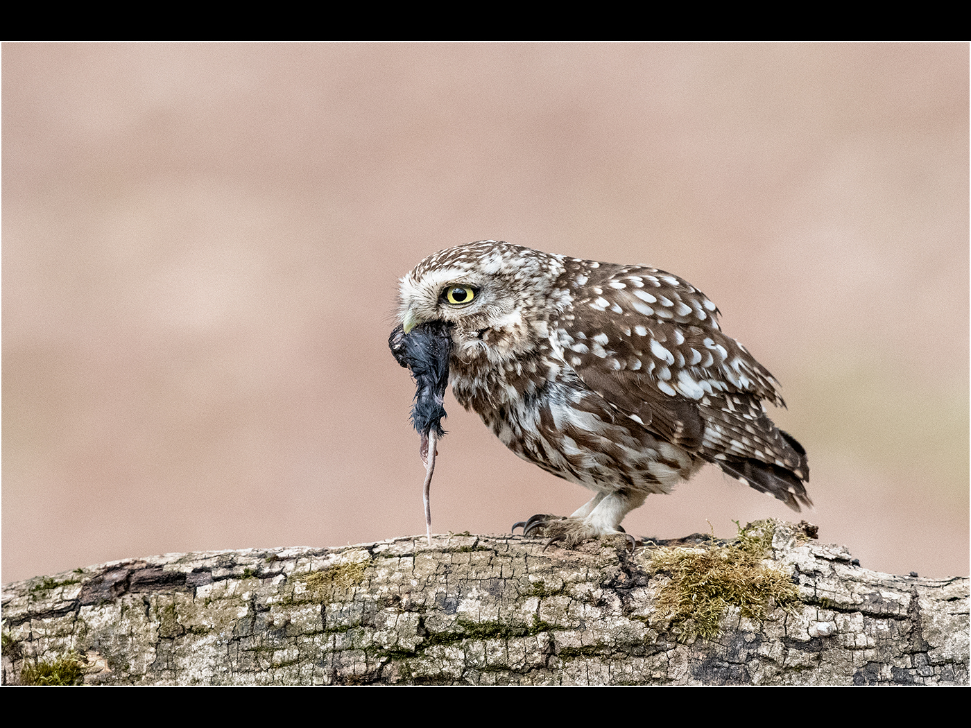 Trevor Hunter.  Little Owl with Prey