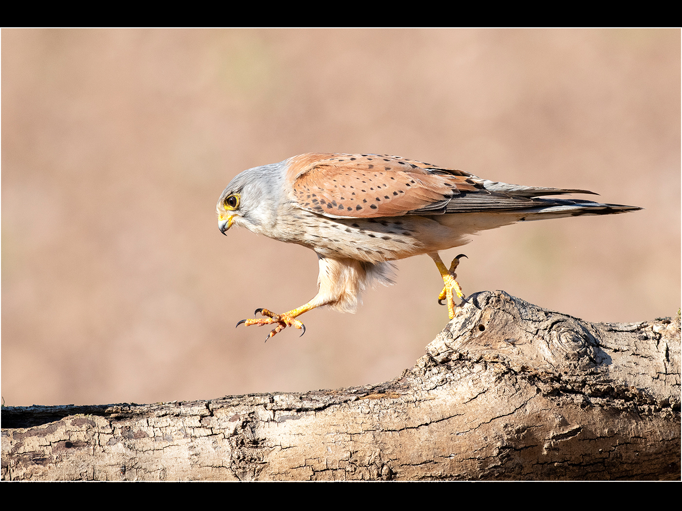 Trevor Hunte.  r Male Kestrel