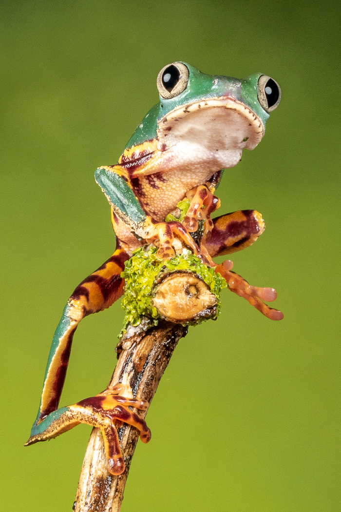 Catherine Lane.  Fringed Leaf Frog