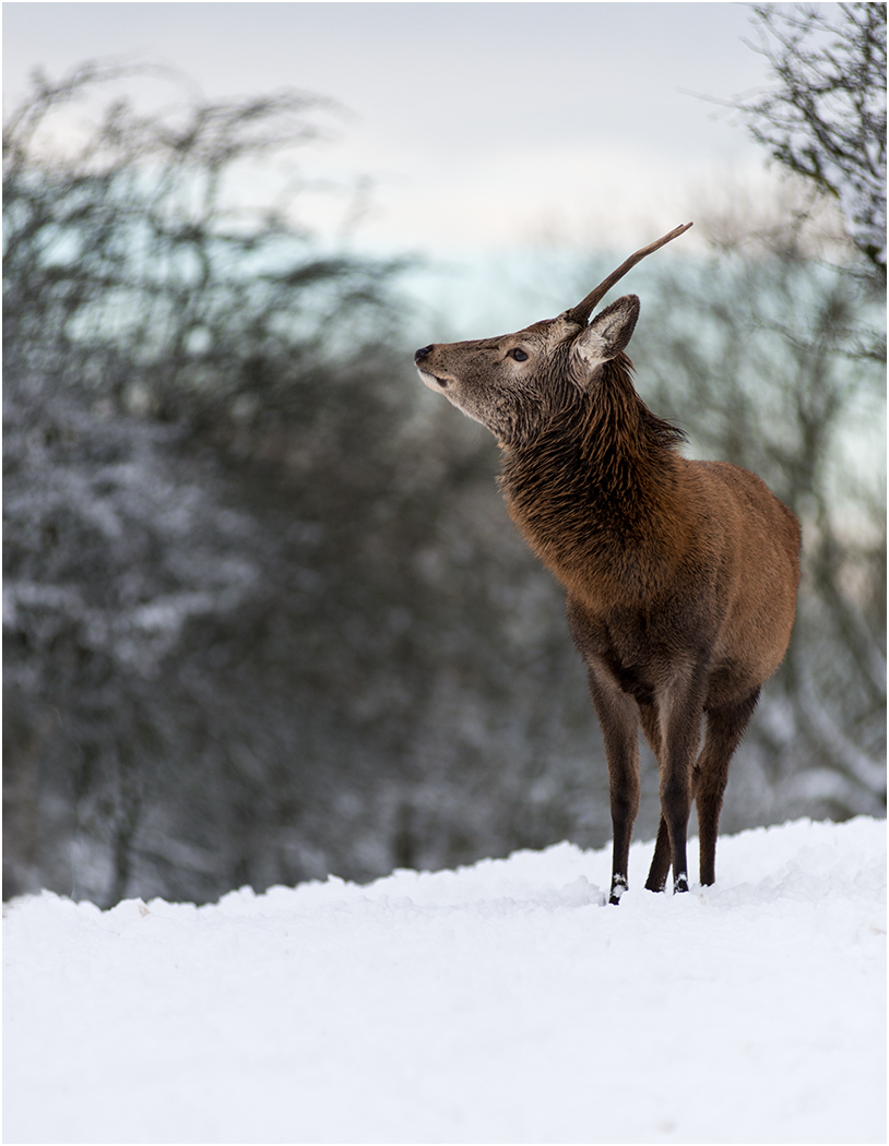 Pat Catlin.   Young Stag