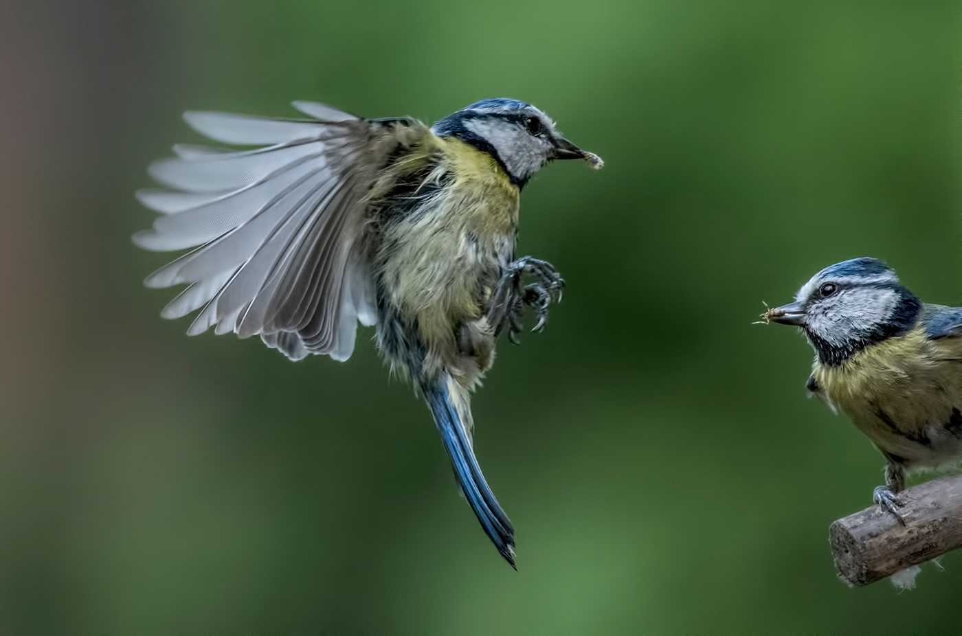 Mark Chambers.   Male and Female Blue Tits