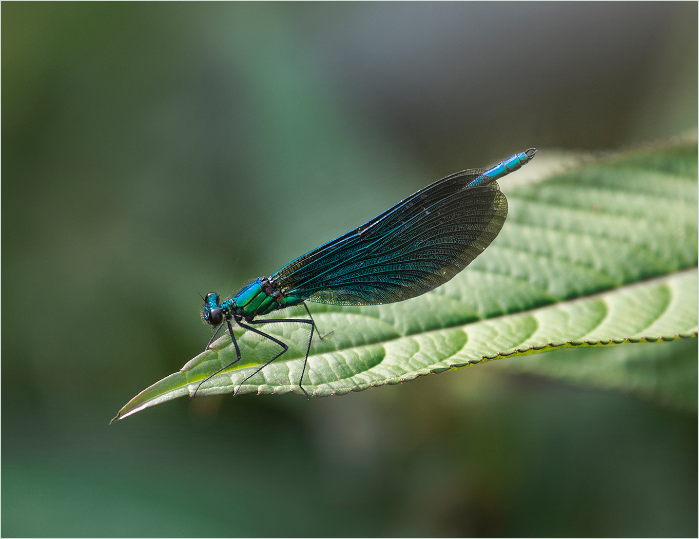 Audrey Couchman.   Beautiful Demoiselle