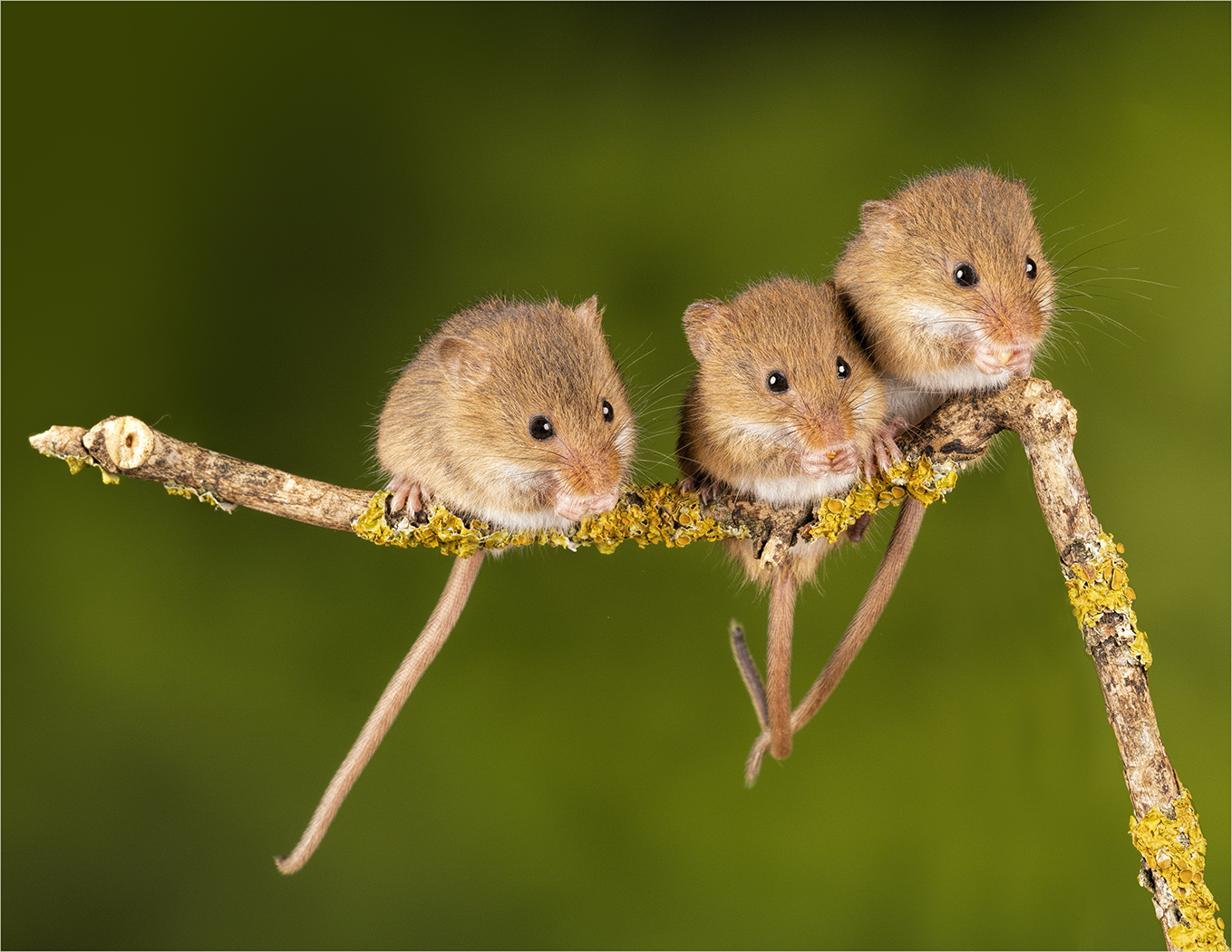 Sue Abbott.    Three Harvest Mice