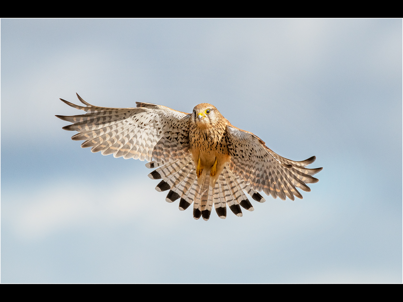 Trevor Hunter.   Female Kestral