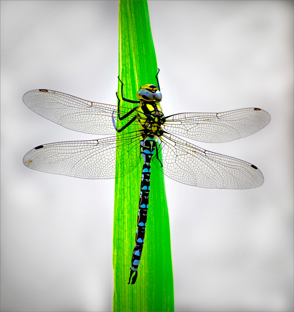 Malcolm Styles.   Common Hawker