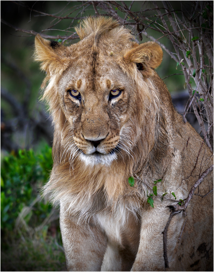 Malcolm Styles.   Young Male Lion