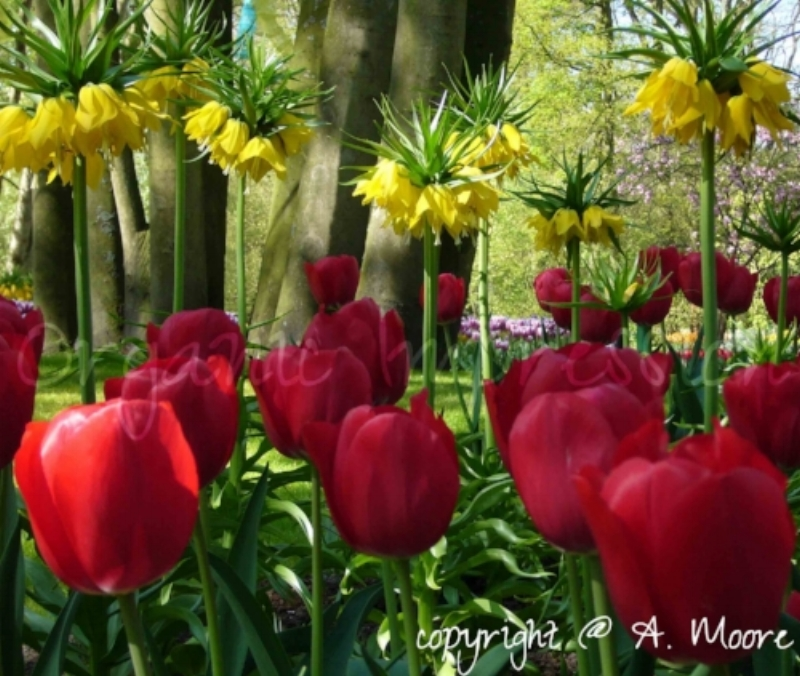 "Although it is almost 10 years old, this picture of red and yellow tulips is still one of my favorites. Through this picture I saw a completely different part of myself that I didn't know existed-I saw an artist. This image was taken at Keukenhof Gardens in Holland when I wanted to take pictures of flowers to show my grandmother back in the US. She saw the pictures from my trip and said ""you could sell these""..."