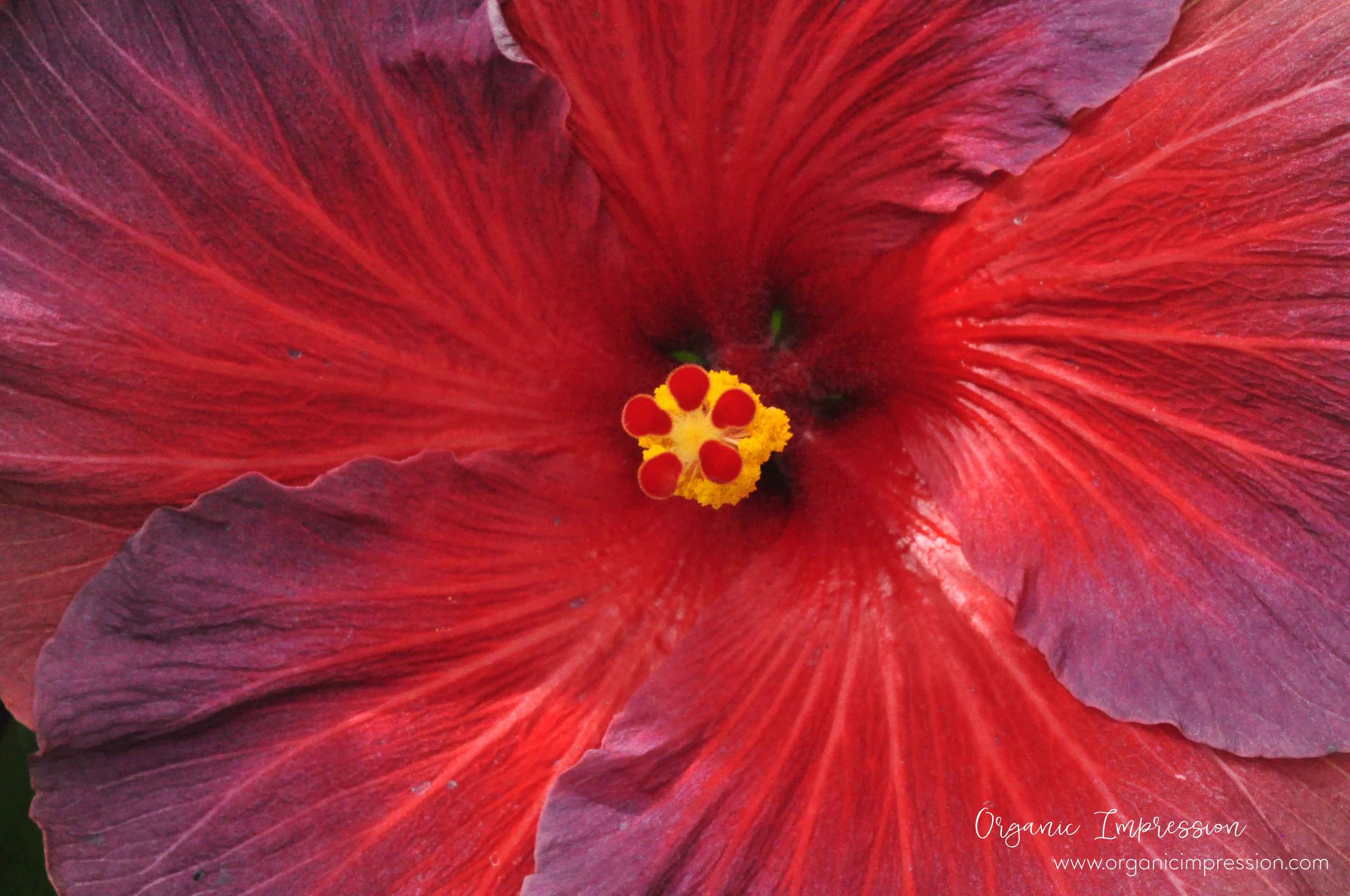 red and purple hibiscus.jpg