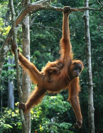 If Orangutans could deadlift, they would be monsters (in a good way)