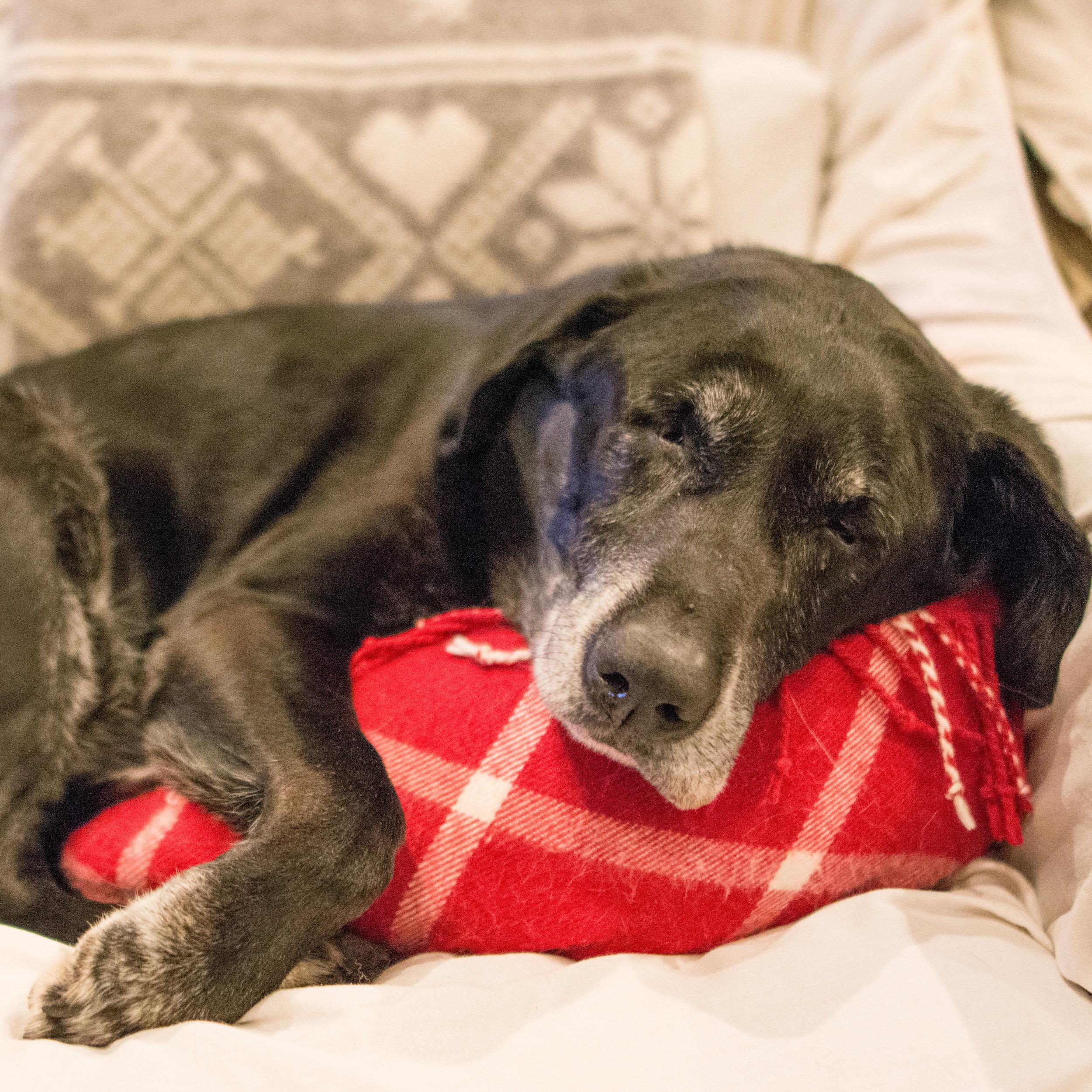 Labrador cuddling a pillow