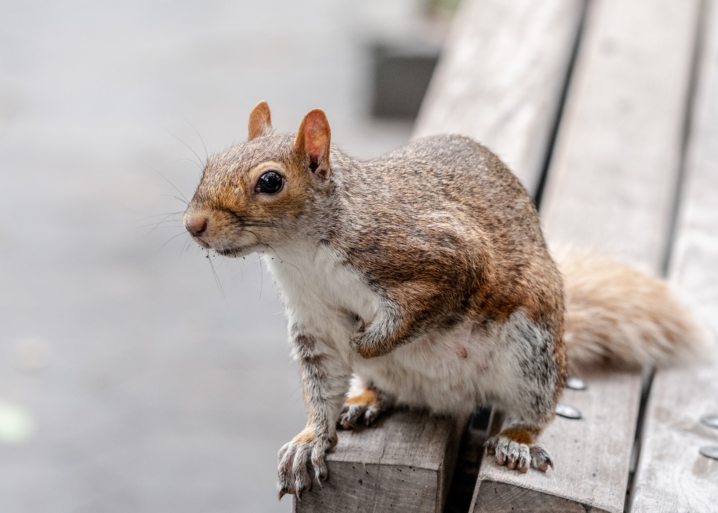 Squirrel on a bench in the park