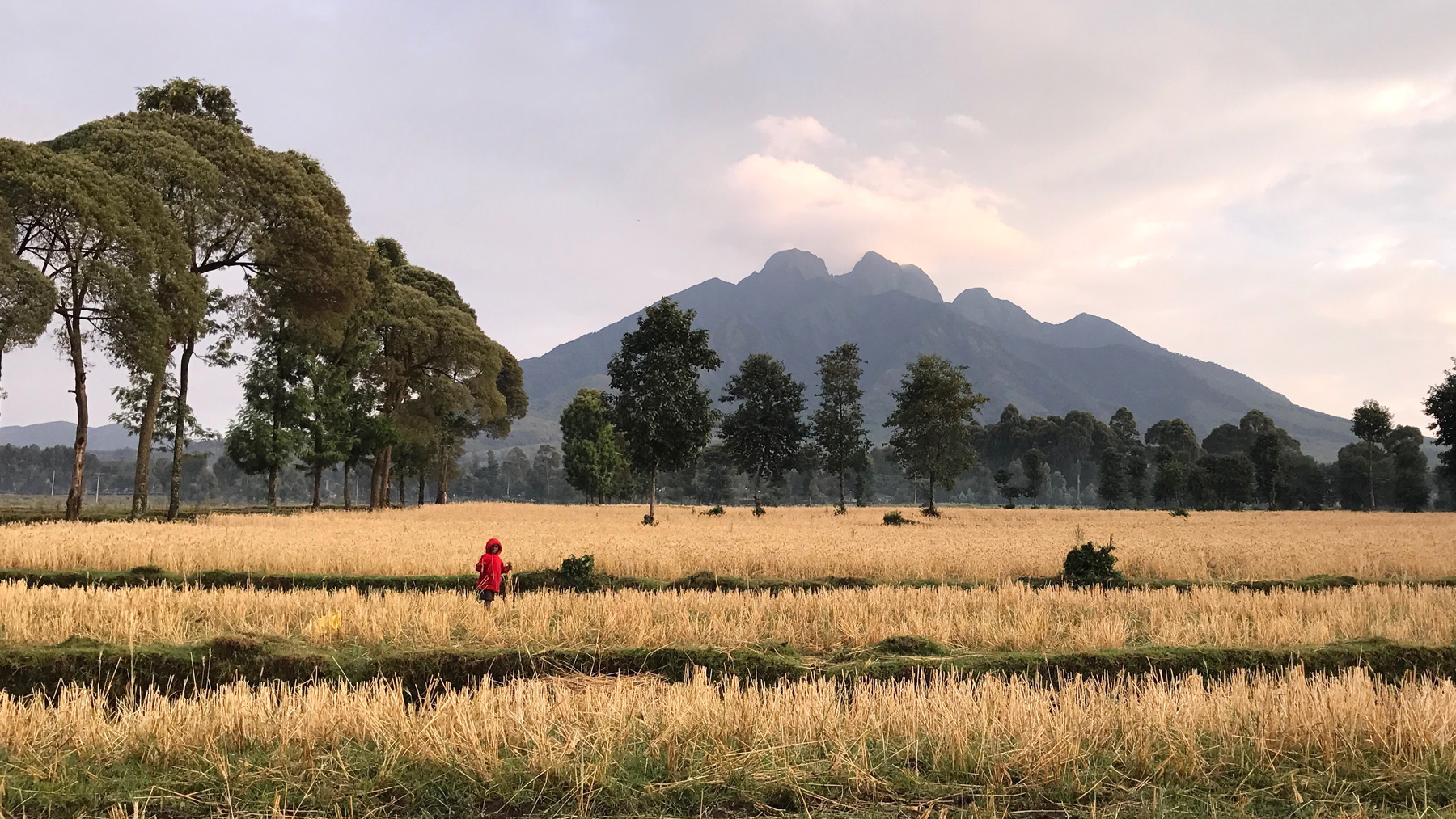 """Early morning in the wheat fields at the foot of Mt. Sabyinyo, one of the few habitats for mountain gorillas. Sabyinyo is aptly named, as it means """"teeth"""" in the local language.Shot on iPhone 7 Plus in Volcanoes National Park, Rwanda."""