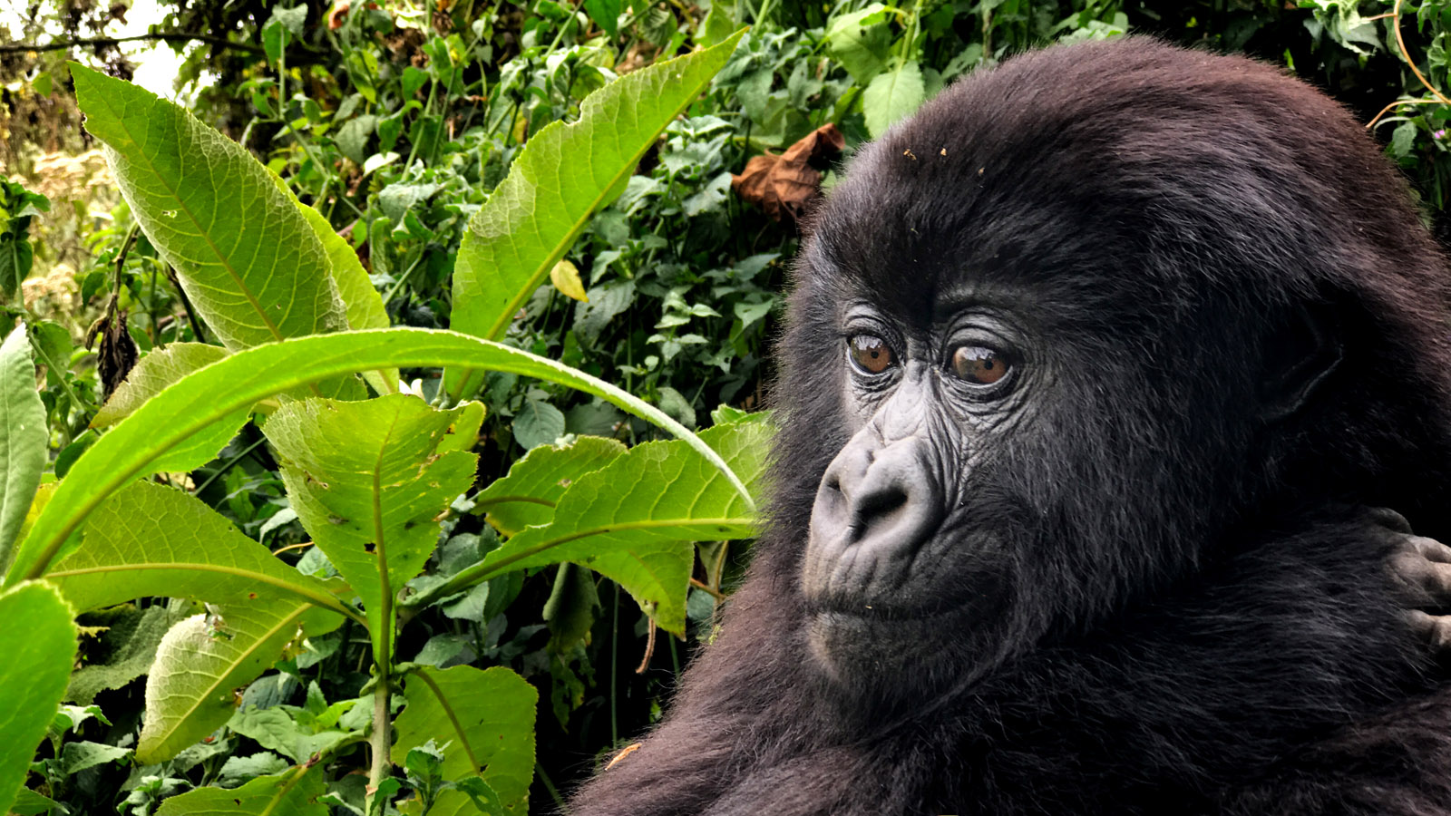 Up close with a young blackback mountain gorilla.Shot on iPhone 7 Plus in Volcanoes National Park, Rwanda.