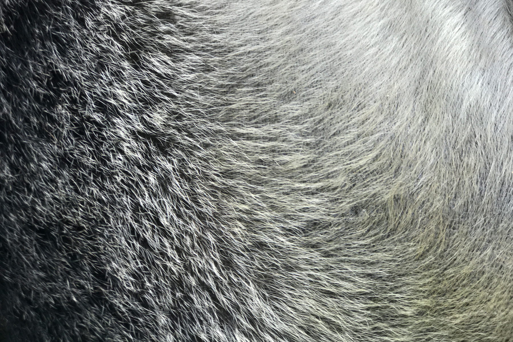Silverbacks get their name because their black fur turns silver around age 12.Extreme close-up shot on iPhone 7 Plus w/ 2x optical zoom.