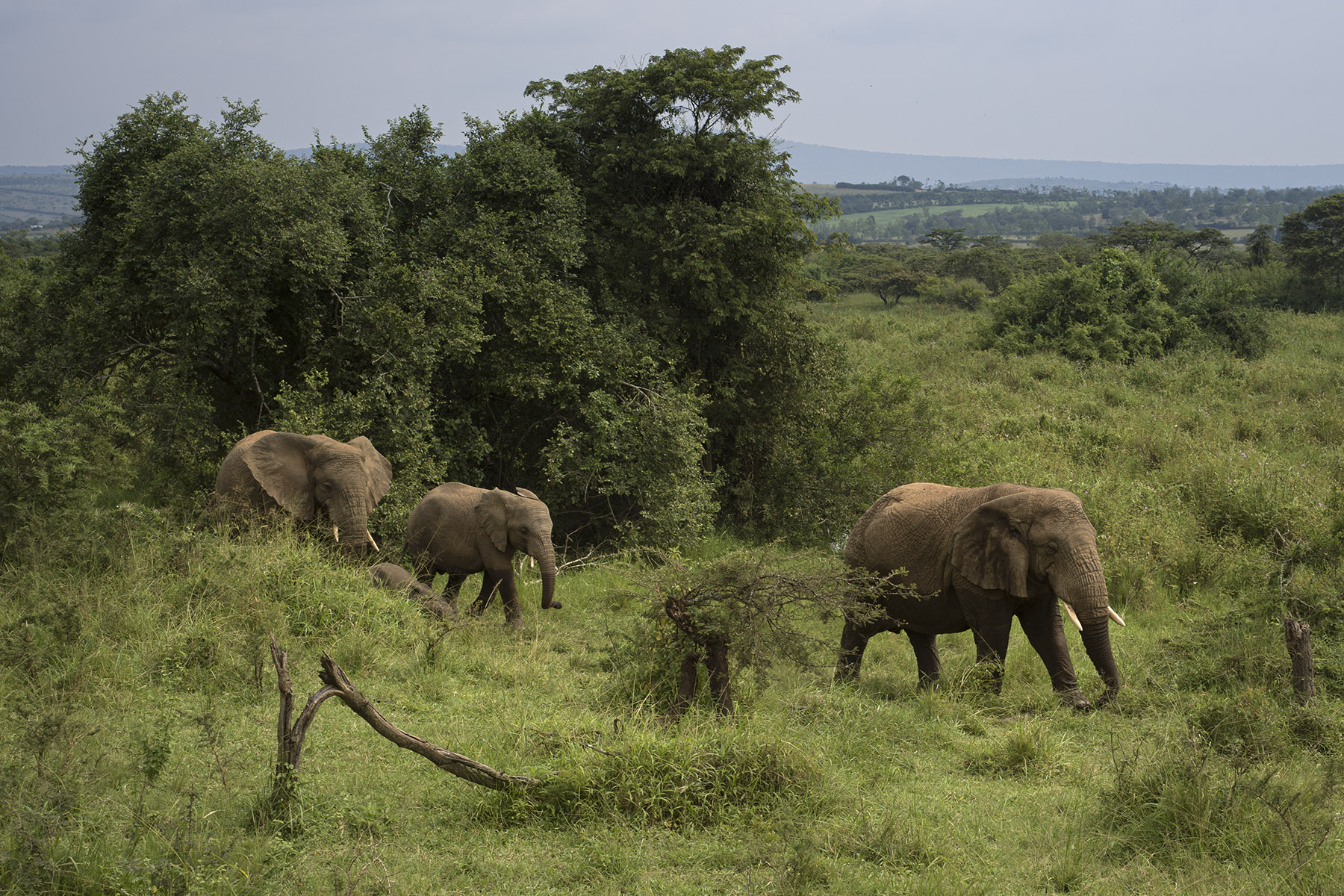 Elephants in Akagera National Park. Shot w/ X1D II and XCD 45mm.