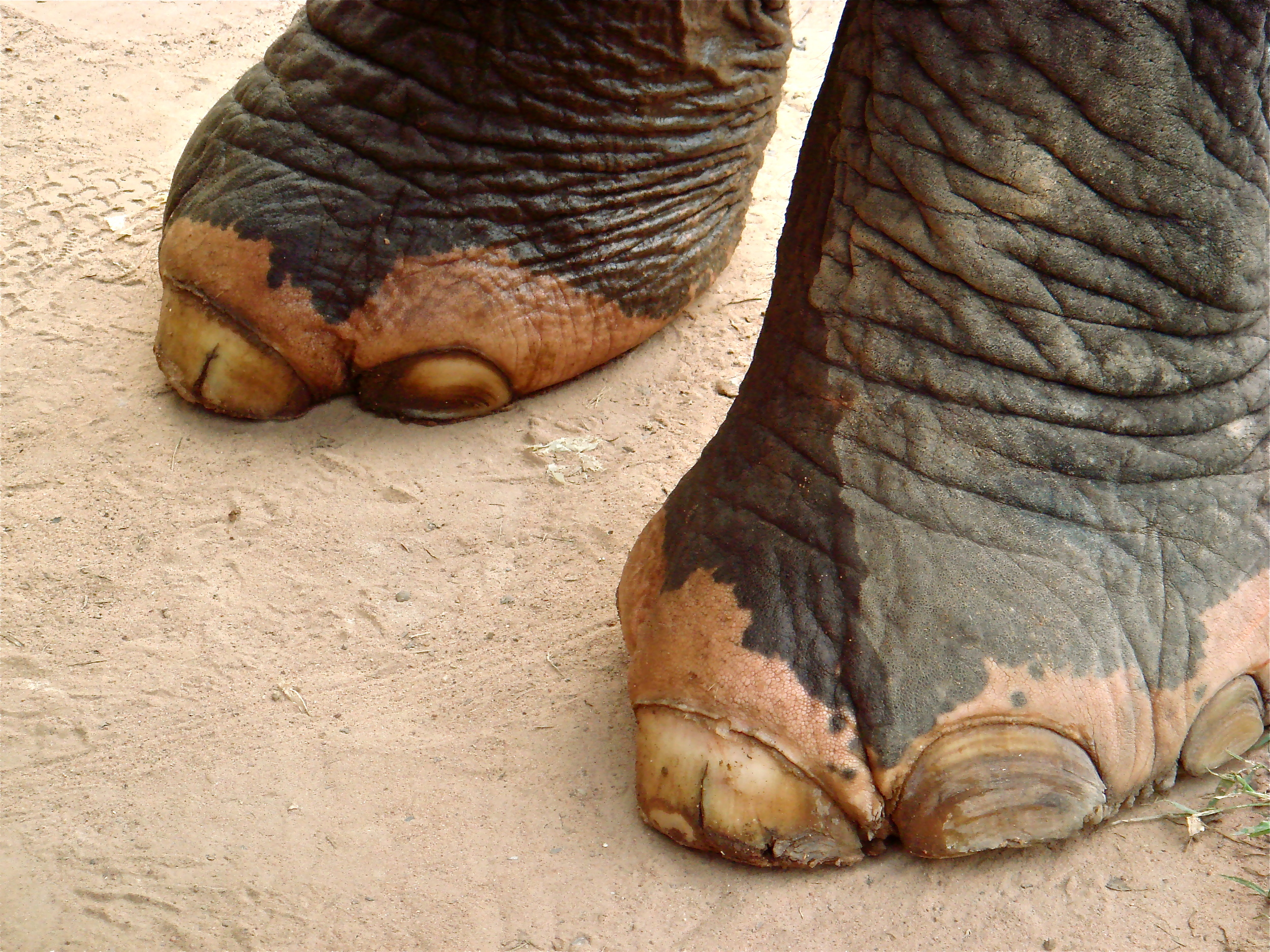 Elephant Toes             Siem Reap, Cambodia