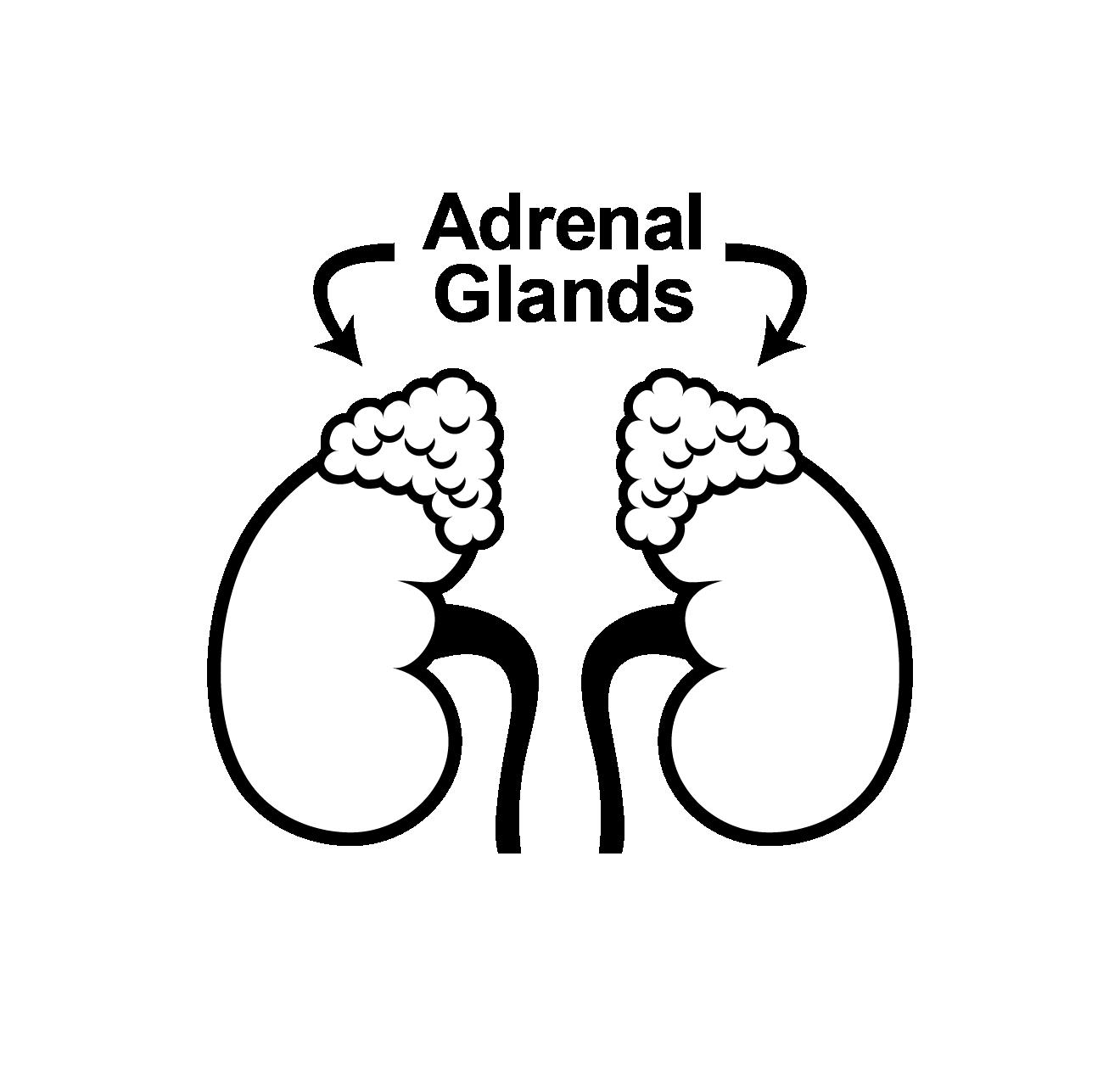 Adrenal glands_2.png