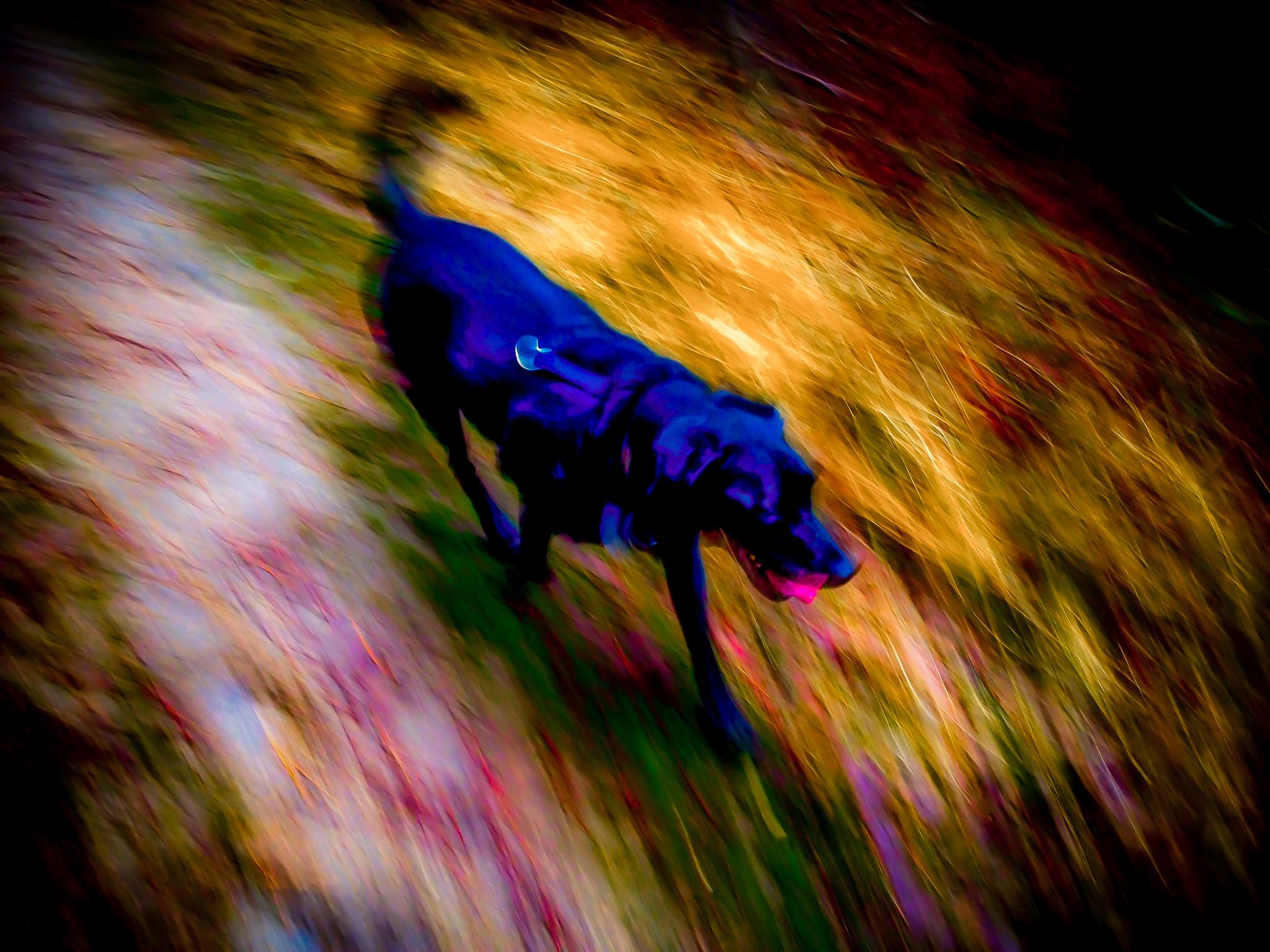 Lobo runs down the trail