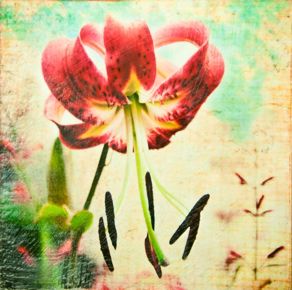 Recurved Oriental Lily.jpg