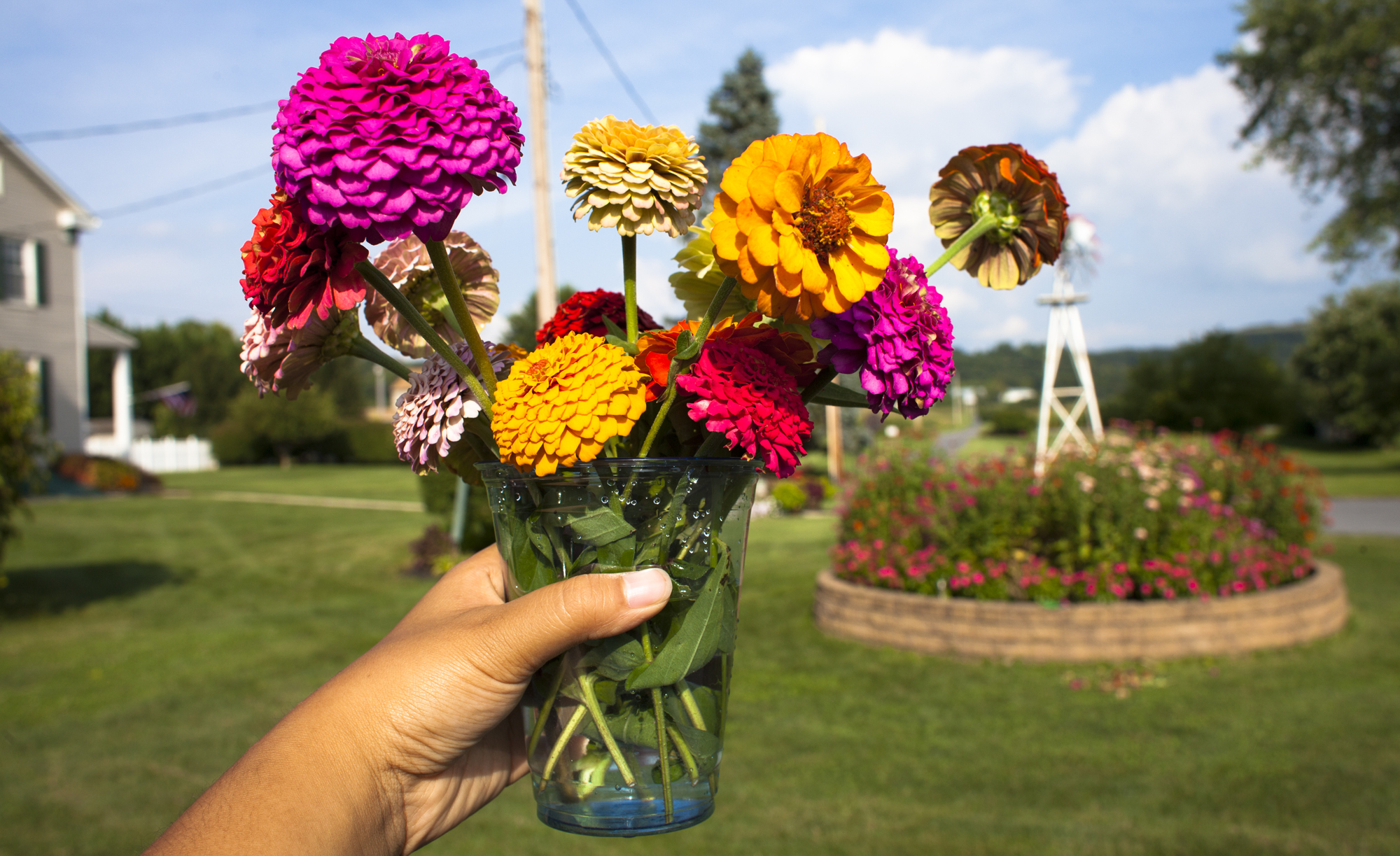Freshly picked zinnias from Marie Rudy's garden in Mount Wolf in a plastic cup, Thursday, Aug. 22, 2013.