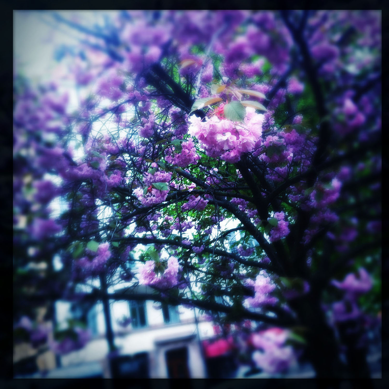 Blossoms at the square. Mariatorget, Stockholm