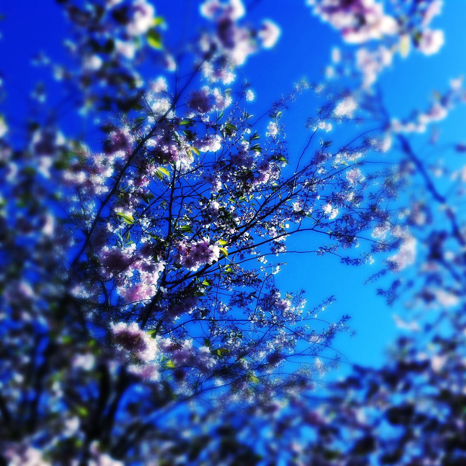 Cherry Blossom. iPhoneography by Kate England.