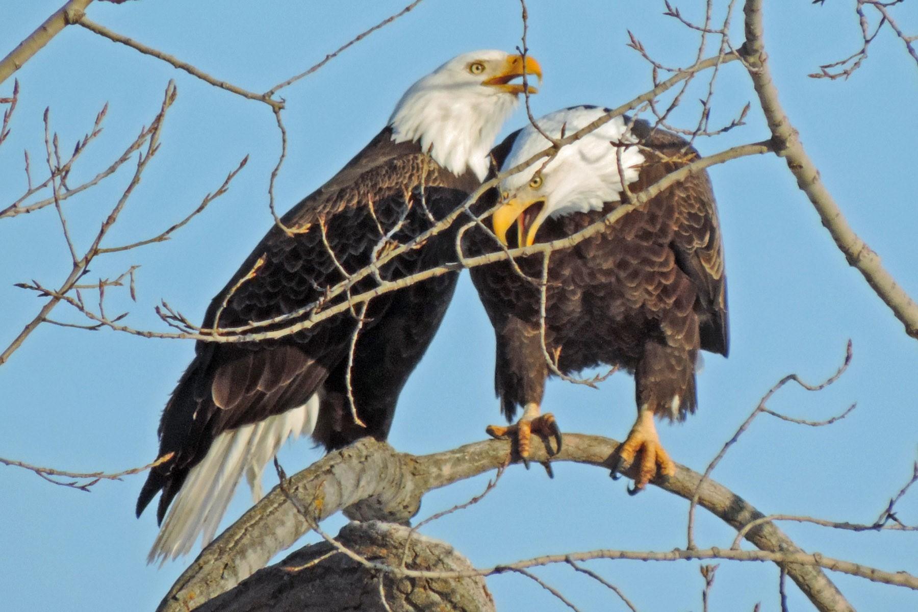 Bird City - Bob Kuhn (Bald Eagle Couple).jpg