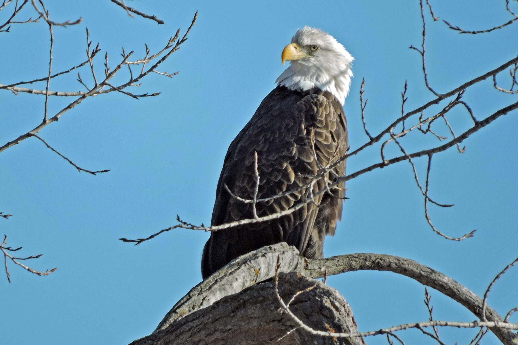 Bird City - Bob Kuhn (Bald Eagle).jpg