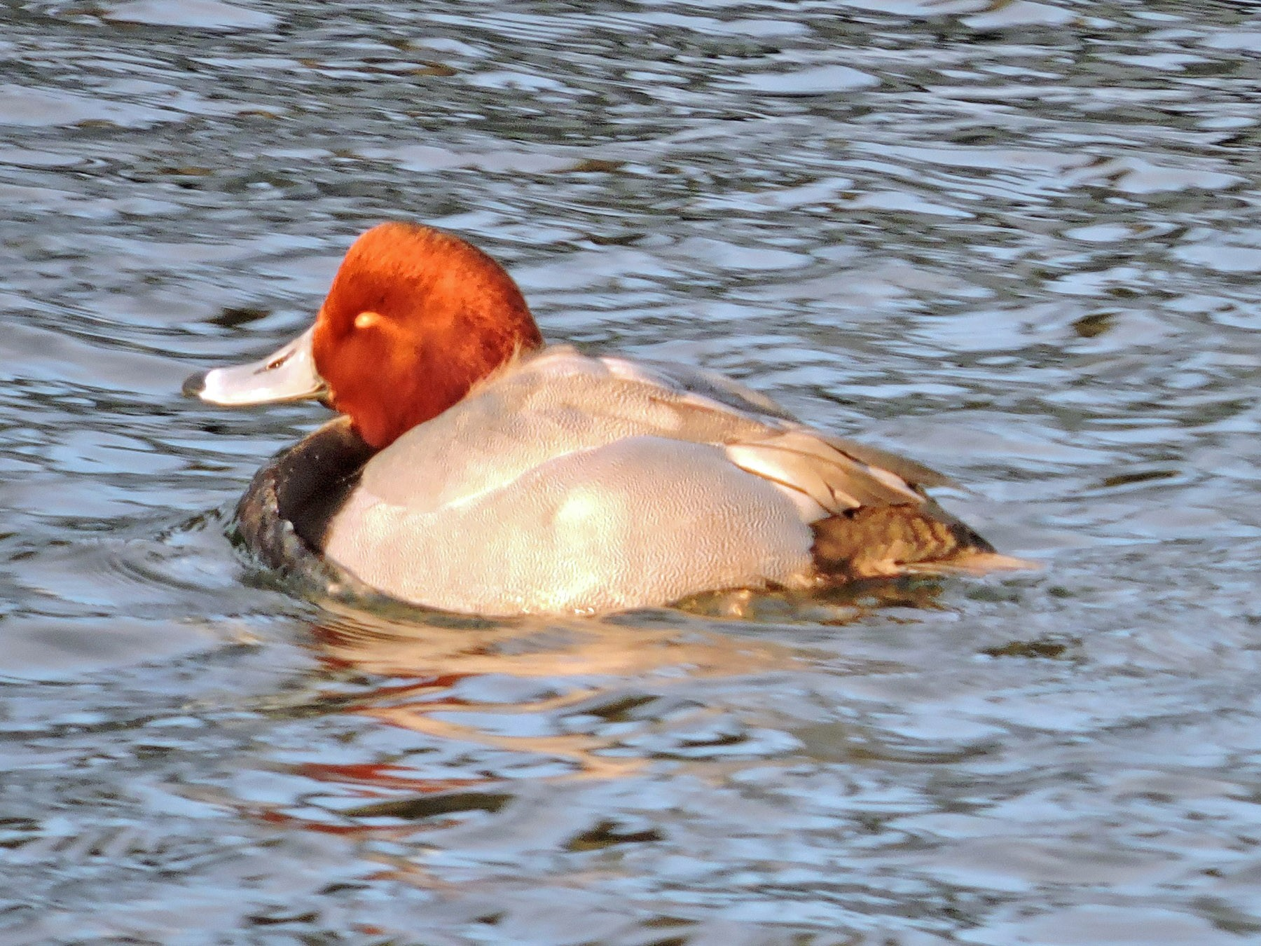 Bird City - Bob Kuhn (Red Head Duck).jpg