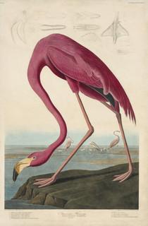 Image: John James Audubon (American, 1785–1851), Robert Havell (English, 1793–1878) (engraver), American Flamingo, 1827–1838, hand-colored engraving, 38-1/4 × 25-5/8 in. (plate).courtesy Joel Oppenheimer, Inc.