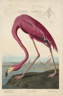 Image: John James Audubon (American, 1785–1851), Robert Havell (English, 1793–1878) (engraver), American Flamingo, 1827–1838, hand-colored engraving, 38-1/4 × 25-5/8 in. (plate). Courtesy Joel Oppenheimer, Inc.