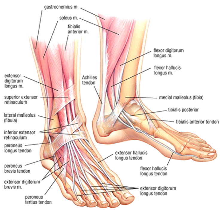 Developing Strength Stability In The Foot Ankle And Lower Leg Mountain Peak Fitness