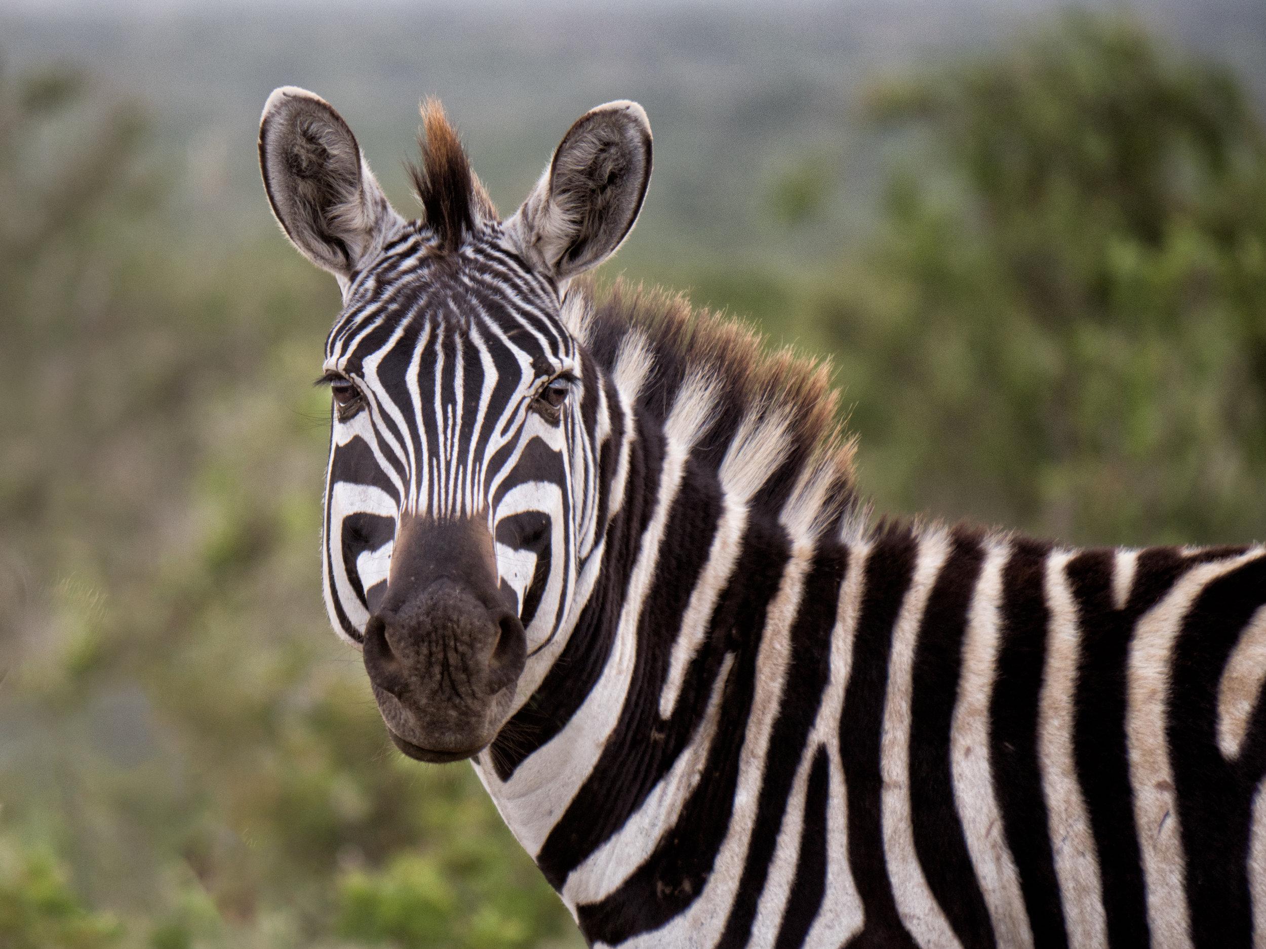Grevy's zebra 1.jpg