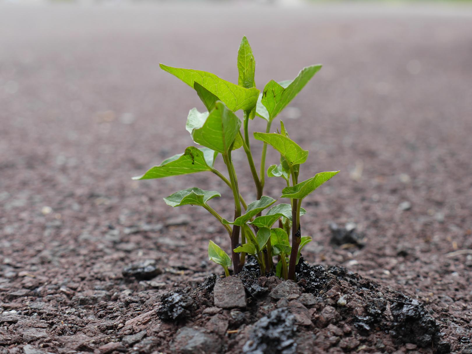 PlantAsphalt.jpg