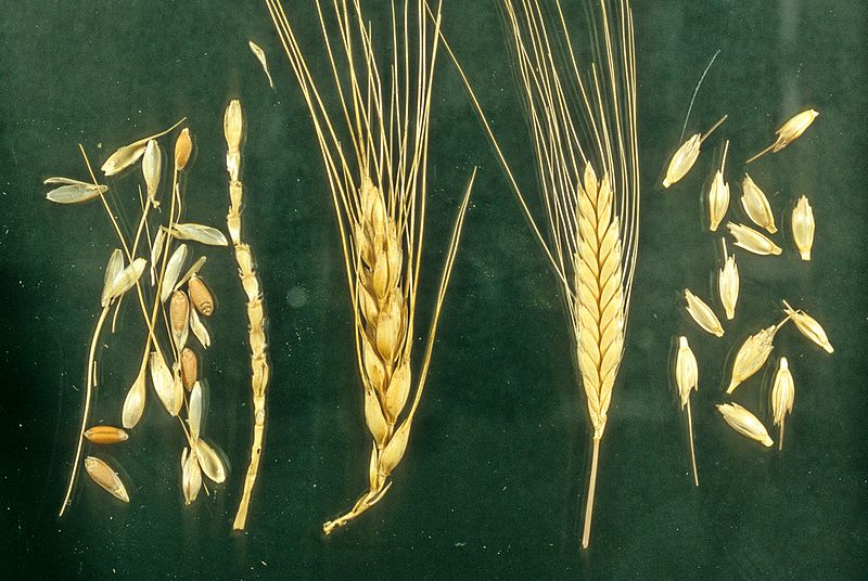 "Staples like wheat, corn, rice, and potatoes ""evolved"" from almost inedible forms of plant life."