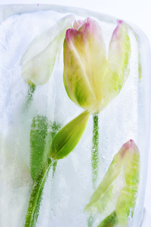 froz_tulip_1929.jpg