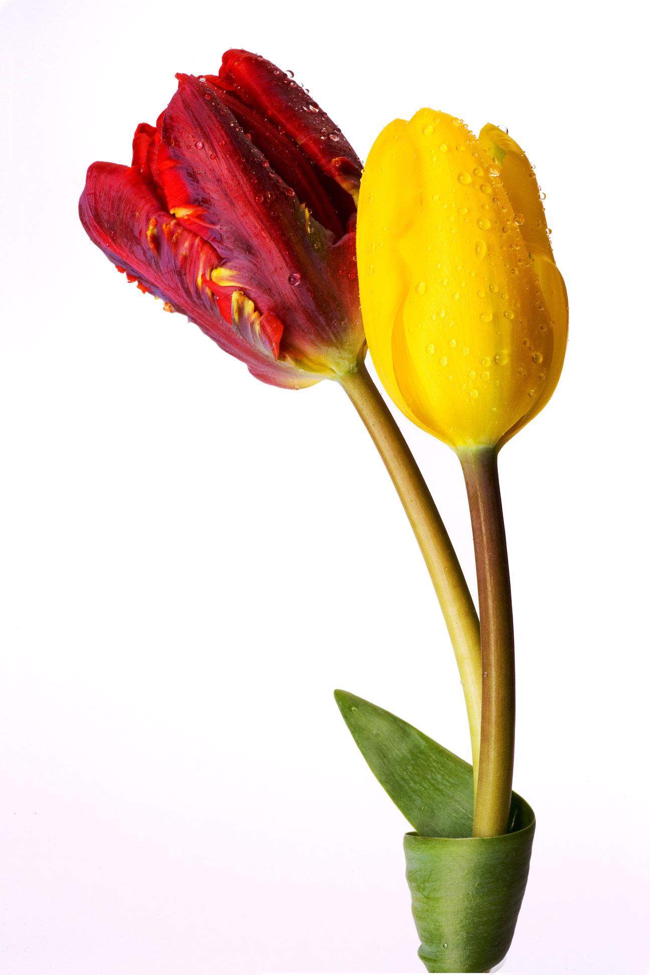 tulips2_0569.jpg