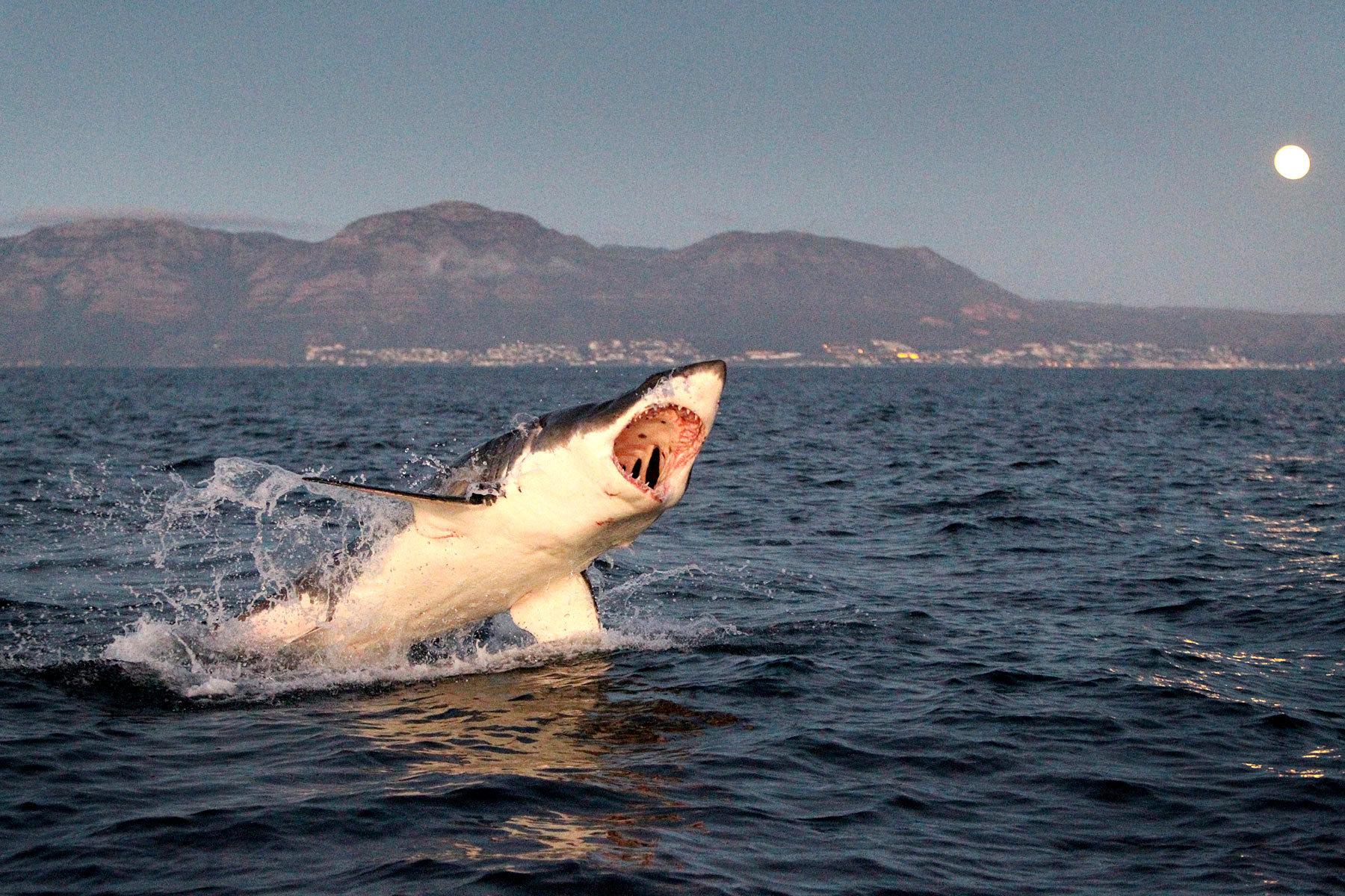 2198_1gt_white_shark_scaler_04.jpg