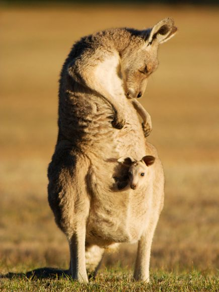 kangaroo-and-joey-australia_19889_600x450.jpg